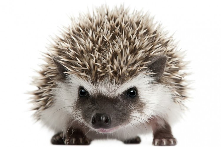 Natural Food For Hedgehogs