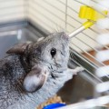 Large Chinchilla Cage