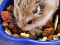 What do hamsters eat?  A guide to the best hamster food and hamster treats.
