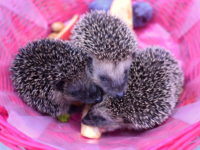 Hedgehog Supplies List: Everything You Need to Know About Supplies for Hedgehog