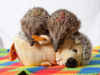 Top 5 Toys for Hedgehogs