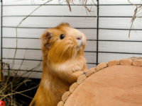 Portrait of red guinea pig. Close up photo.
