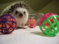 Do Hedgehogs Play with Toys?